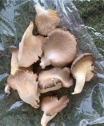 Dry Oyster Mushroom ( Grey) (P. Sajor- Caju)