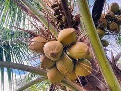 Red Tender Coconut