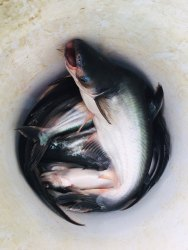 Vala Fish (Biofloc Fish) Wholesale