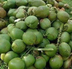 A Grade Pollachi Tender Coconut, Coconut Size: Medium