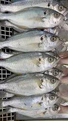 Sudum / Parava / Molly Fish