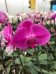 Plants Purple Orchid Phalanosys