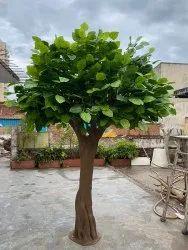 Banyan Tree 10 Feet