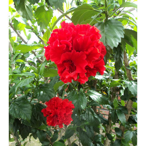 29a8dc86713e Red Hibiscus Double Plant at Rs 130  piece