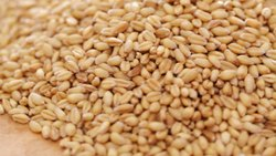 Organic Lokwan Wheat, Pack Size: 5 And 25kg