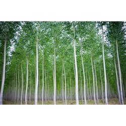 Eucalyptus Urograndis Tree
