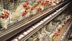 Poultry N Cattle Feed