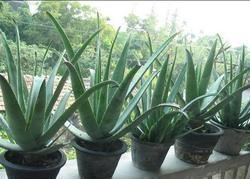 Aloe Vera Seeds Wholesale Price Amp Mandi Rate For