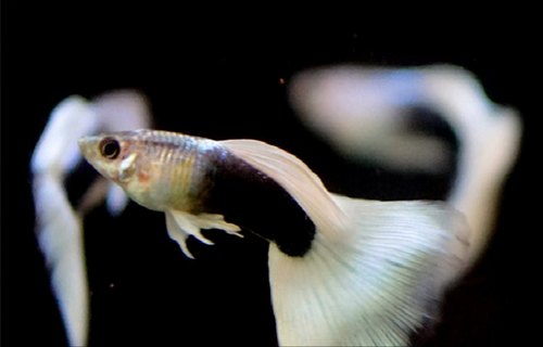 Guppy Fish Dumbo Ear Mosaic Guppies From Bhubaneswar
