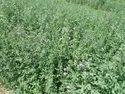 Methi Grass Seeds
