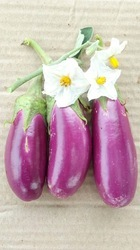 Natural Brinjal/ Eggplant - F1 Pinkesh, Packaging Type: Pouch, Packaging Size: 10gm
