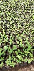 Elahbad Safeda Guava Plants Tissue Culture