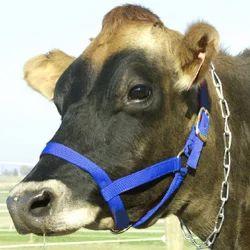 Cow Halter