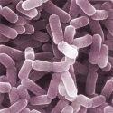 Lactobacillus Casei Probiotics