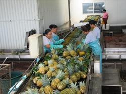 Pineapple Processing Plant