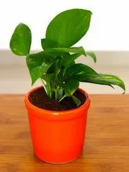 Natural Money Plant with Ceramic Pot for Indoor