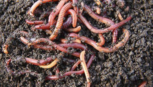 Where To Find Earthworm Obtaining Shoppers