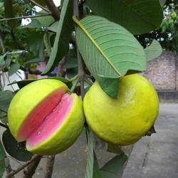 Red Guava Plant