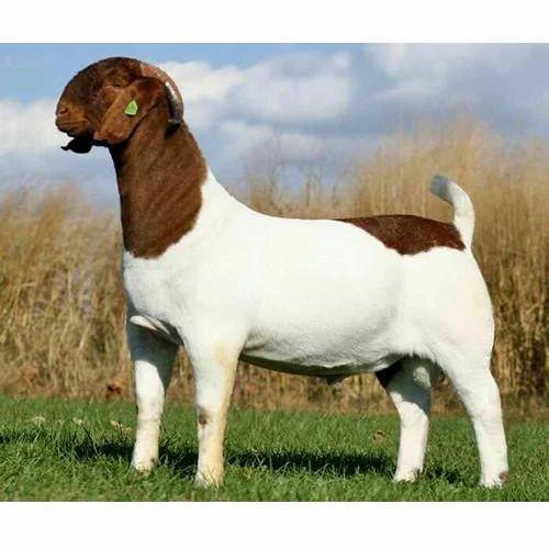 Sojat Breed Goat - White Sojat Goat Wholesale Trader from