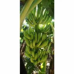 Pan India A Grade Green Banana, Carton, 50 Kg
