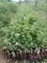 Custured Apple Plant