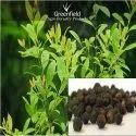 White Sandal Tree Seed (Santalum album)