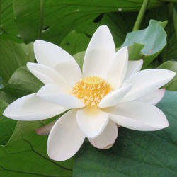 White Lotus Absolute Oil
