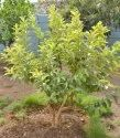 Guava / Psidium Guava / Amrud Fruit Tree Seeds