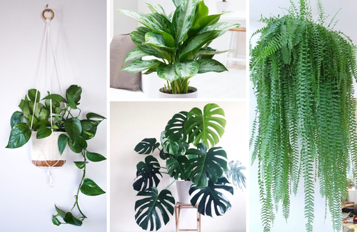 Indoor Plants At Rs 300 Number Air Purifying Indoor Plants Id 19791817088