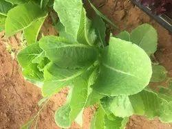 A Grade Roman Lettuce