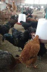 Aseel Fighter Hen, Murgi, मुर्गी - Shri Someshwar Group
