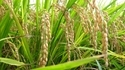 Bio Fungicide Plus Paddy Special