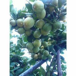 Seedless Thai Lemon Plants