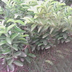 4a3b5ad94 Grafted Guava Plant - Lalit Guava Plants Wholesale Supplier from Lucknow