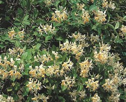 Thomas Flower Plant