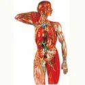 Lymphatic System Model