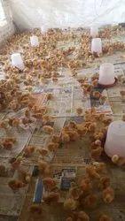 Brown Mix Rir Chicks