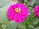Royal Zinnia Elegans Purple-flower-seeds, For Agriculture, 100 Seed