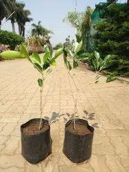 Jambul plant