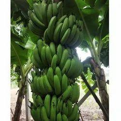Maharashtra A Grade G9 Green Banana, Carton, 10 Kg