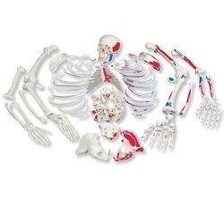 Disarticulated Human Skeleton (200bones) Bone Set ( Bilateral-coloured)