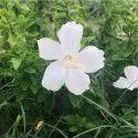 White Lafrance Plant