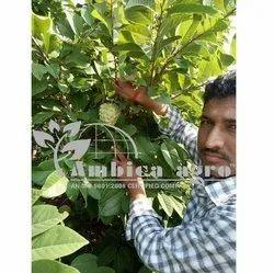 Thai KG Custard Apple Plant