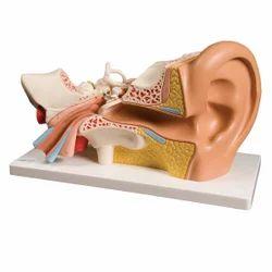 PVC Ear Model