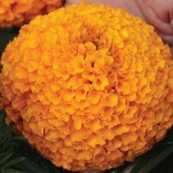 Orange Marigold Seed