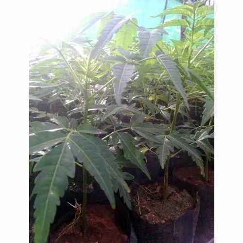 Garden Melia Dubia Plant