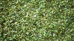 Jumbo Bag Green Fennel Seed, Packaging Size: 25kg