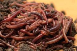 Red Wriggler Earthworms