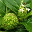 Morinda Citrifolia Extracts
