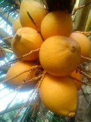 Pollachi Yellow Coconut, Packaging Size: 13 kg